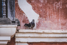 Pigeon Standing On A Wall