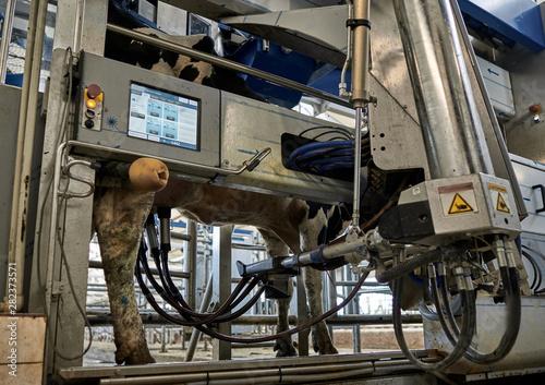Fototapeta  voluntary cow milking system