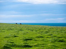 Distance View Of Herd Of Cattle Pasture On Green Meadow Against Cloudy Sky And Blue Ocean. Stanley, Tasmania, Australia