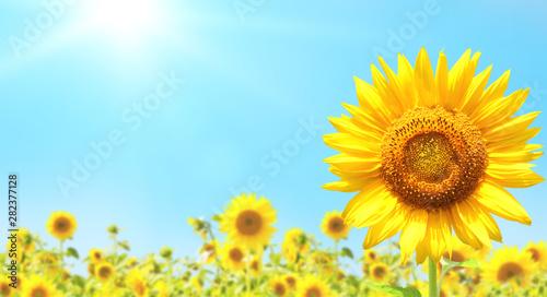 Sunflowers on blurred sunny...