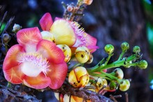 Beautiful Close Up Of Cannonball Tree Flower. Couroupita Guianensis, Known By A Variety Of Common Names Including Cannonball Tree, Is A Deciduous Tree In The Family Lecythidaceae.