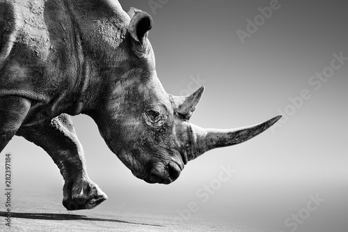 Rhino, rhinoceros close up while mobile in Kruger National Park. Fine art, Monochrome. Ceratotherium simum