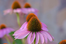 Two Large Flowers Of Echinacea...