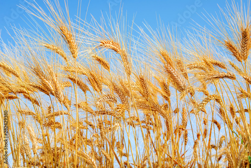 field-of-wheat