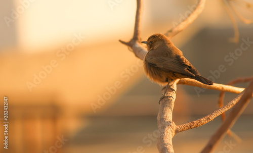 Brown rock chat bird Canvas Print
