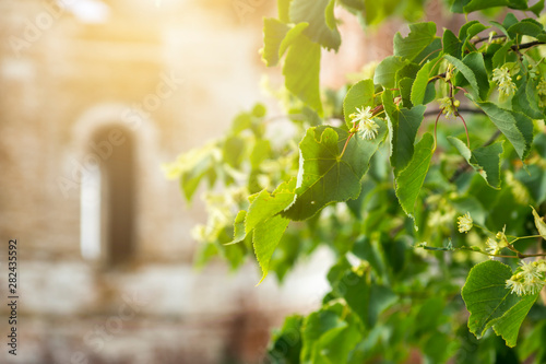 Photo sur Aluminium Arbre Blooming linden. Old ruined church in the background, blurred fragment of a building. Linden tree flowers