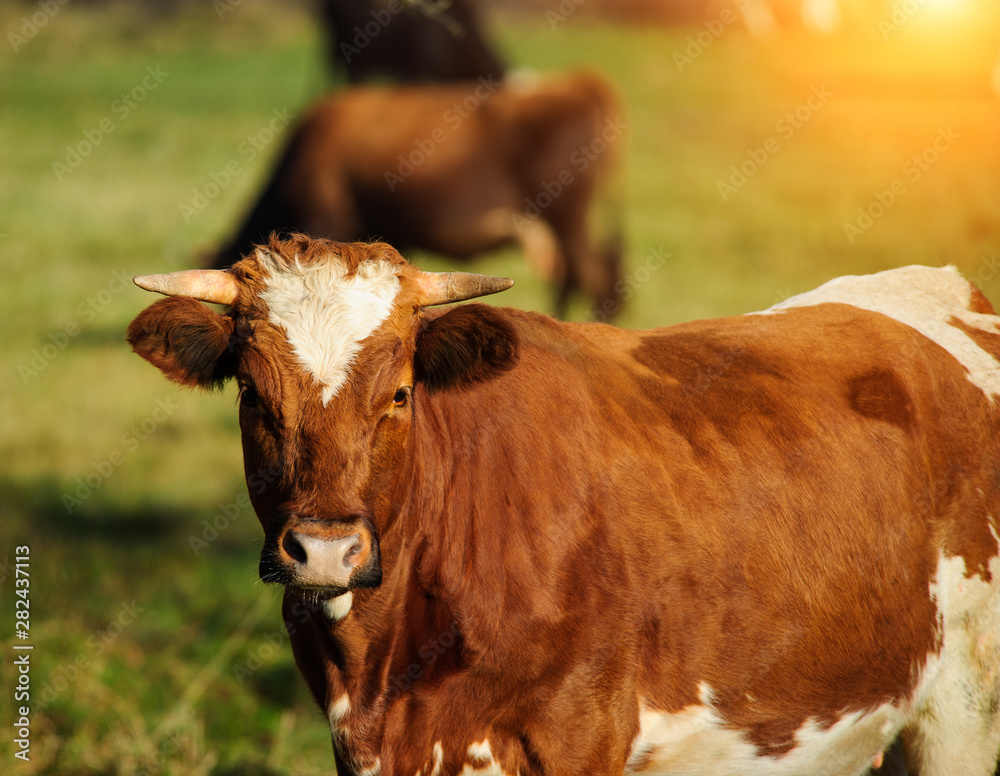 cow on the green pasture