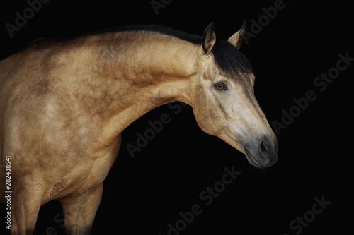 Fototapeta Portrait of a cream-coloured horse on a black background obraz