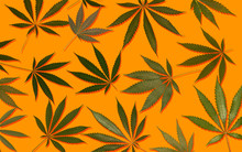 Marijuana Hemp Cannabis Leafs On Colourful Background
