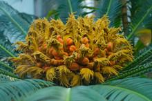 Closeup Of Sago Palm Flower