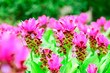 canvas print picture - Closeup and Selective Focus Pink Siam Tulip or Krachiew flowers in the garden .