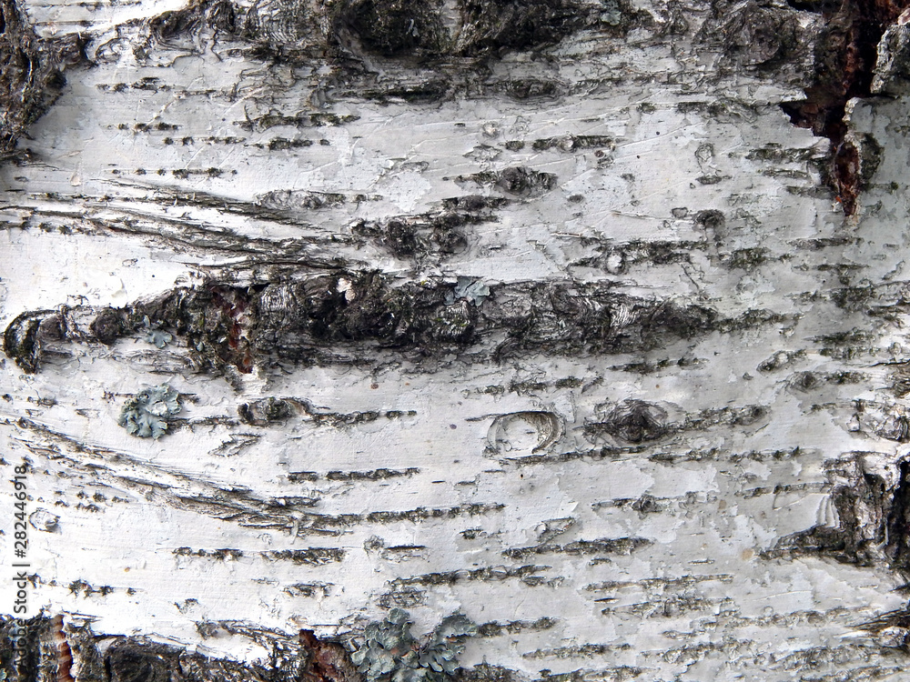 Birch bark texture, white and grey