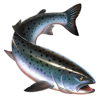 Rainbow Trout Fish On White Ba...