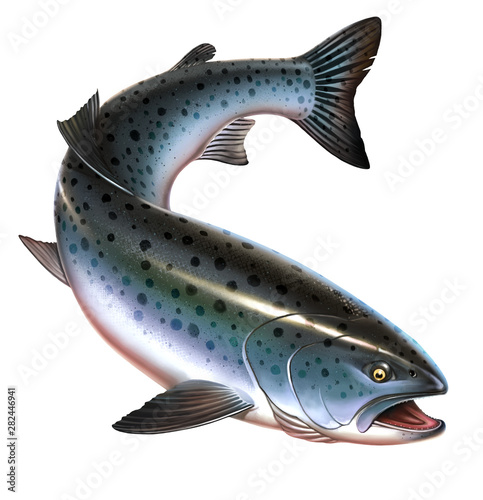 Rainbow trout fish on white background. Trout delicacy. Wild river fish. Chinook Salmon, Salmon, Snout fish big realistic isolated illustration. Atlantic trout. Wall mural