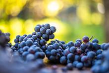 Blue Vine Grapes. Grapes For Making Wine.