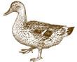 engraving antique illustration of mallard duck