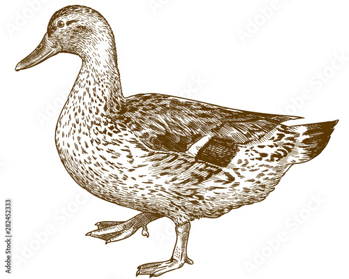 Valokuva engraving antique illustration of mallard duck