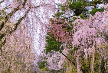 Panel Szklany Japoński beautiful sakura in old town, japan