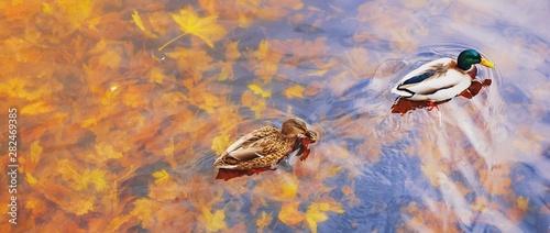 Obraz na płótnie Two mallard ducks on a water in dark pond with floating autumn or fall leaves, top view