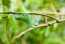 Big Green Caterpillar Hanging ...