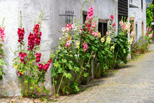 Flourish Hollyhocks In Front Of An Old Farm House In An Old Village