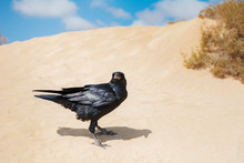 Elegant Crow With Black Plumage, In The Sand Dunes And Illuminated By Sunlight.