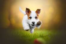 Jack Russel Puppy Jumping On A Ball On The Grass With A Blurry Yellow Background