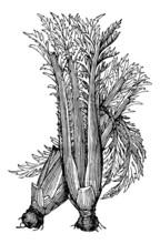 Vintage Illustration Of Cardoon