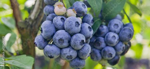 Fotografía Blueberries - Vaccinium corymbosum, high huckleberry, blush with abundance of crop