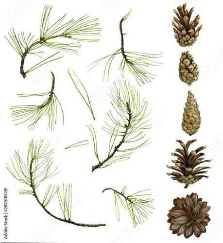pine cone drawing in watercolor Wall mural