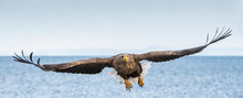 White-tailed Sea Eagle In Flight, Spreading Wings. Front View.   Scientific Name: Haliaeetus Albicilla, Also Known As The Ern, Erne, Gray Eagle, Eurasian Sea Eagle And White-tailed Sea-eagle.