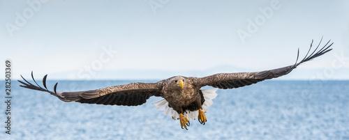 Foto White-tailed sea eagle in flight, spreading wings
