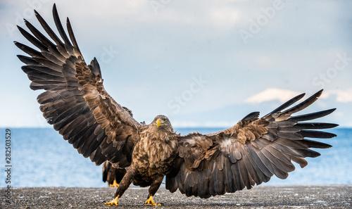 Obraz na płótnie White-tailed sea eagle spreading wings