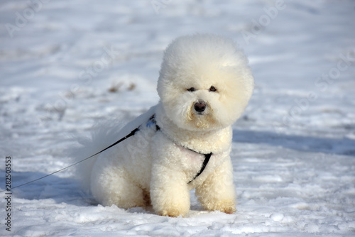 Valokuva  Bichon frize breed  white color