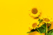 Beautiful fresh sunflowers with leaves on stalk on bright yellow background. Flat lay, top view, copy space. Autumn or summer Concept, harvest time, agriculture. Sunflower natural background