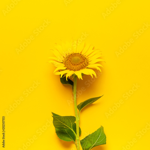 In de dag Zonnebloem Beautiful fresh sunflower with leaves on stalk on bright yellow background. Flat lay, top view, copy space. Autumn or summer concept, harvest time, agriculture. Sunflower natural background