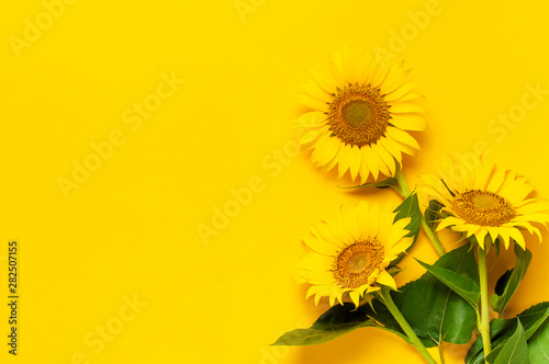 Poster de jardin Tournesol Beautiful fresh sunflowers with leaves on stalk on bright yellow background. Flat lay, top view, copy space. Autumn or summer Concept, harvest time, agriculture. Sunflower natural background