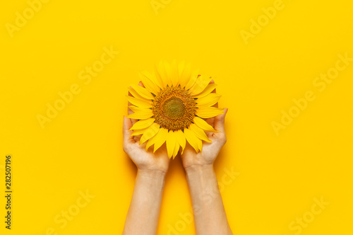 Female hands hold Beautiful fresh sunflower on bright yellow background Fototapeta