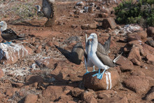 Mating Dance Of Blue Footed Bo...