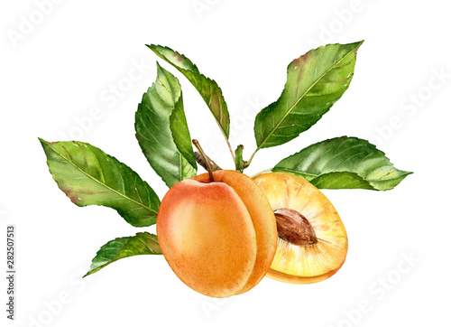 Obraz na plátne Realistic botanical watercolor illustration apricot fruit leaves composition: wh