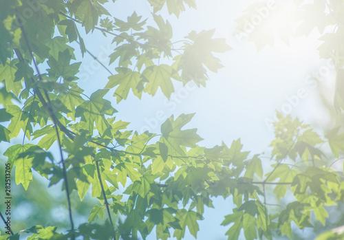 Montage in der Fensternische Olivgrun Green nature background with maple leaves