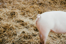 Curly Tail On Pink Piglet In Hay