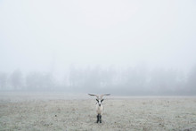 Peacock Goat Standing In Foggy Field