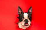 Fototapeta Zwierzęta - The head of the dog breed Boston Terrier peeking out through a hole in the red paper.Creative. Minimalism.