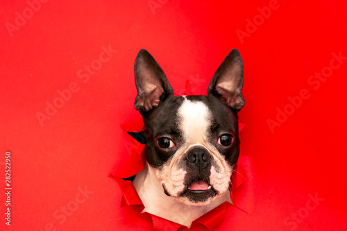 The head of the dog breed Boston Terrier peeking out through a hole in the red paper.Creative. Minimalism. - 282522950