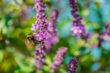 Bumblebee On Basil, Ocimum Kiliman