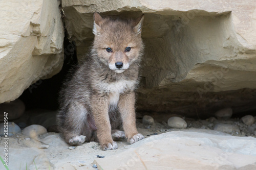 Photo sur Toile Loup Coyote pups at the den