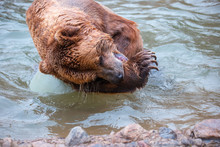 Grizzly Bears Playing In Water...