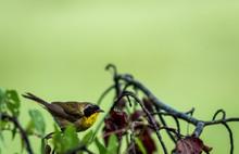 Male Common Yellowthroat (Geot...