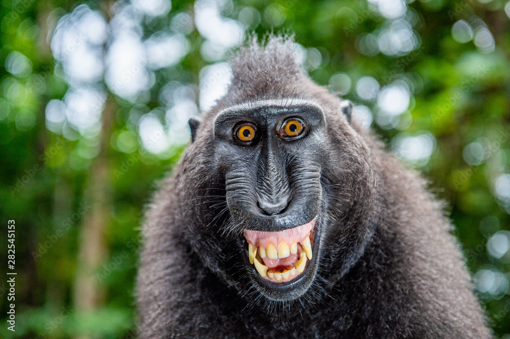 Fototapety, obrazy: Celebes crested macaque with open mouth. Close up portrait on the green natural background. Crested black macaque, Sulawesi crested macaque, or black ape. Natural habitat. Sulawesi Island. Indonesia